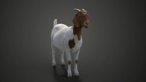 Boer Goat with 1 Animation | VFX Grace