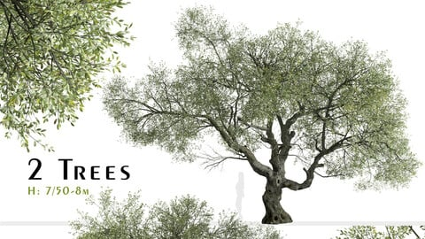 Set of Canyon live oak Tree (Quercus chrysolepis) (2 Trees)