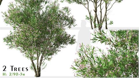 Set of Nerium oleander Tree (Rose Laurel) (2 Trees)