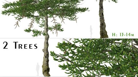 Set of Araucaria araucana Tree (Monkey puzzle) (2 Trees)