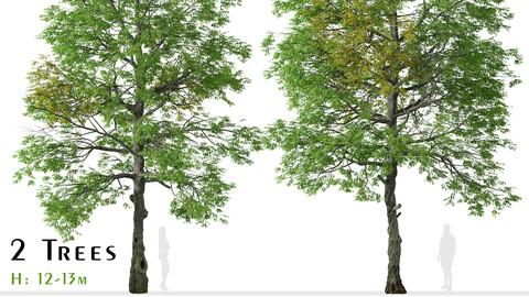 Set of Black ash Tree ( Fraxinus nigra ) (2 Trees)