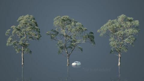 Eucalyptus Willow Trees