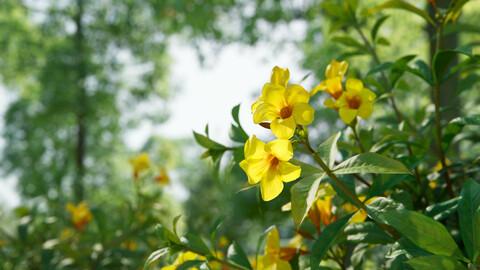 Yellow Allamanda (Golden Trumpet) | VFX Grace