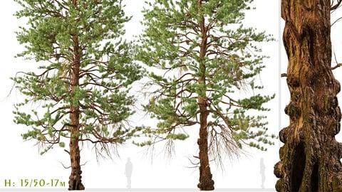 Set of Ponderosa Pine Tree ( Bull Pine ) (2 Trees) (3DsMAX-Blender-Cinema4D-FBX-OBJ)