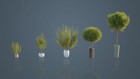Pot Plants - Rosemary