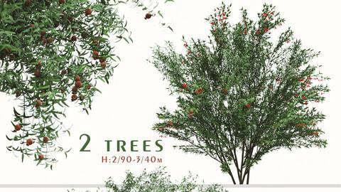 Set of Punica Granatum Tree (Pomegranate tree) (2 Trees) ( 3Ds MAX – Blender - Cinema4D – FBX – OBJ )
