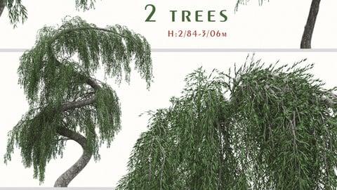 Set of Larix Kaempferi Pendula Tree (Japanische Hänge Lärche) (2 Trees) ( 3Ds MAX – Blender - Cinema4D – FBX – OBJ )