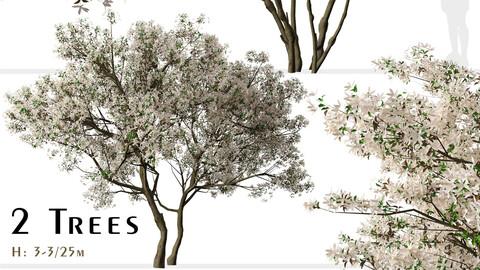 Set of Flowering Serviceberry Trees ( Kupfer Felsenbirne ) (2 Trees) ( 3Ds MAX – Blender - Cinema4D – FBX – OBJ )