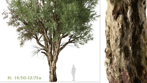 Set of Eucalyptus Camaldulensis Tree ( River Red Gum ) (2 Trees) ( 3Ds MAX - Blender - Unreal Engine - Cinema4D - FBX - OBJ )