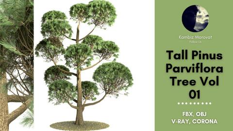 Tall Pinus Parviflora Tree Vol 01