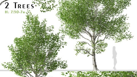 Set of Betula utilis Trees ( Himalayan Birch ) ( 2 Trees ) ( 3Ds MAX - Blender - Unreal Engine - Cinema4D - FBX - OBJ )