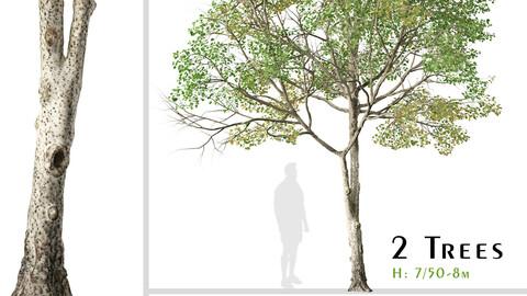 Set of Populus tremula Tree (Eurasian aspen) (2 Trees) ( 3Ds MAX - Blender - Unreal Engine - Cinema4D - FBX - OBJ )