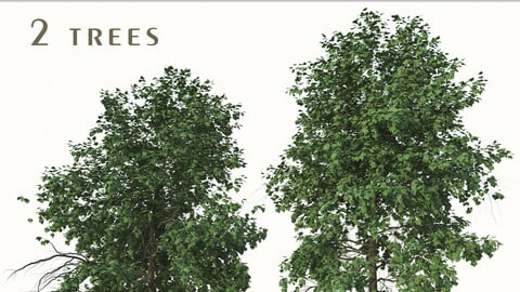 Set of Acer Buergerianum Trees (Trident Maple) (2 Trees)  ( 3Ds MAX - Blender - Cinema4D - FBX - OBJ )