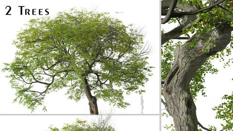 Set of Tilia cordata Tree (Small-leaved lime) (2 Trees) ( 3Ds MAX - Blender - Unreal Engine - Cinema4D - FBX - OBJ )