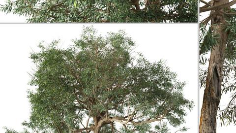 Set of Olive Tree (Olea europaea) (2 Trees) ( 3Ds MAX - Blender - Unreal Engine - Cinema4D - FBX - OBJ )