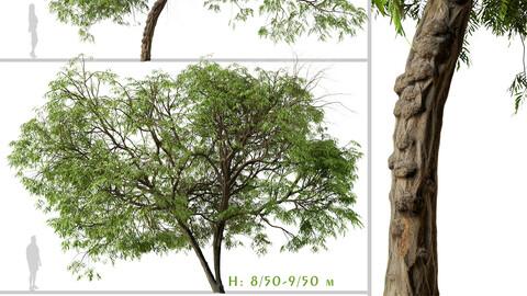 Set of Brazilian Pepper Tree ( Schinus terebinthifolia ) (2 Trees) ( 3Ds MAX - Blender - Unreal Engine - Cinema4D - FBX - OBJ )