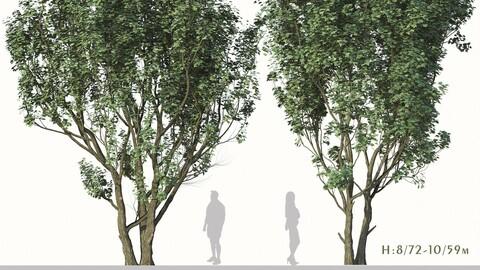 Set of Acer Campestre Tree (Field maple) (2 Trees) ( 3Ds MAX - Blender - Cinema4D - FBX - OBJ )