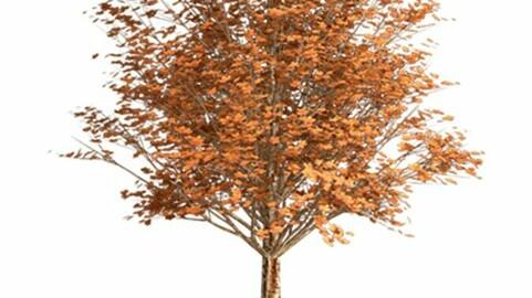 Resource-Plant Jaspé maple