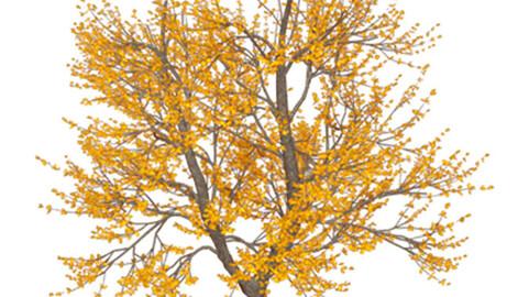 Resource-Plant Golden ash