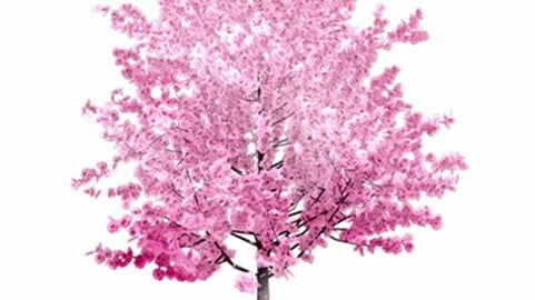Resource-Plant Cherry blossoms
