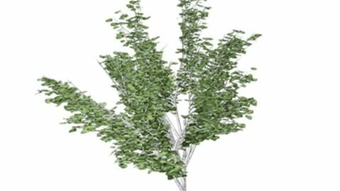 Resource-Plant Birch to paper Canoe Birch