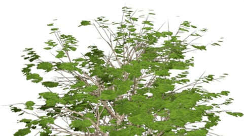 Resource-Plant Himalayan horse chestnut