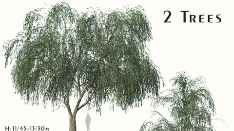 Set of Willow Acacia Tree (Acacia Salicina) (2 Trees) ( 3Ds MAX - Blender - Cinema4D - FBX - OBJ )