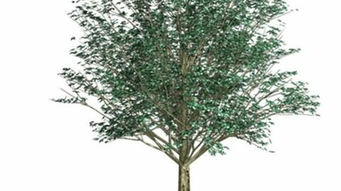Resource-Plant Alder whitish