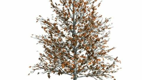 Resource-Plant Quercus imbricaria