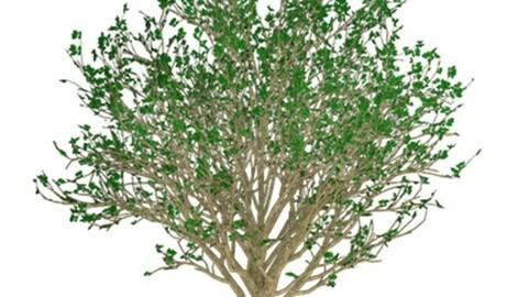 Resource-Plant Grape cherry