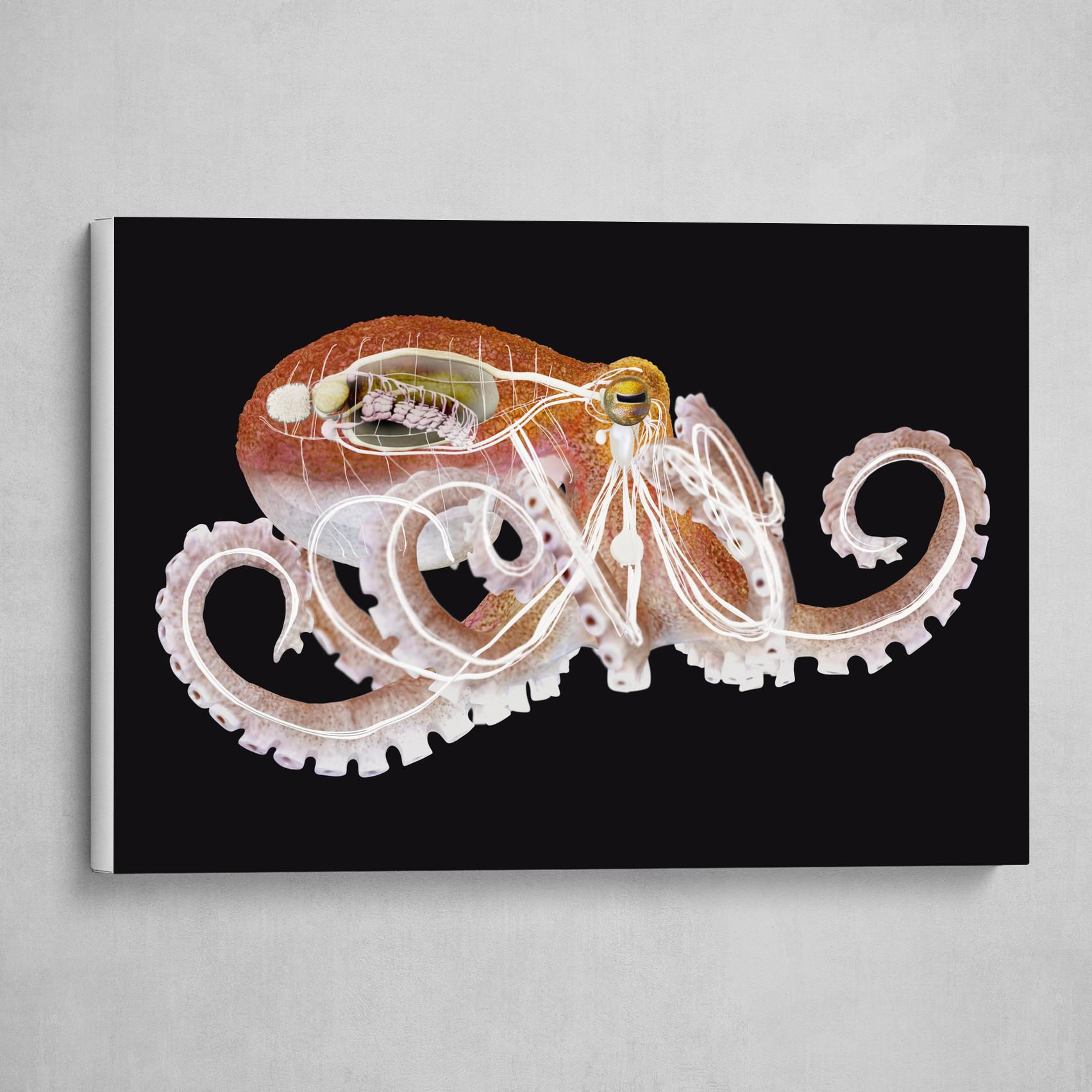 Octopus Eledone cirrhosa internal organs 2